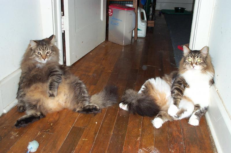 subject-Siberian Cats and Hypoallergenic Cats Siberian
