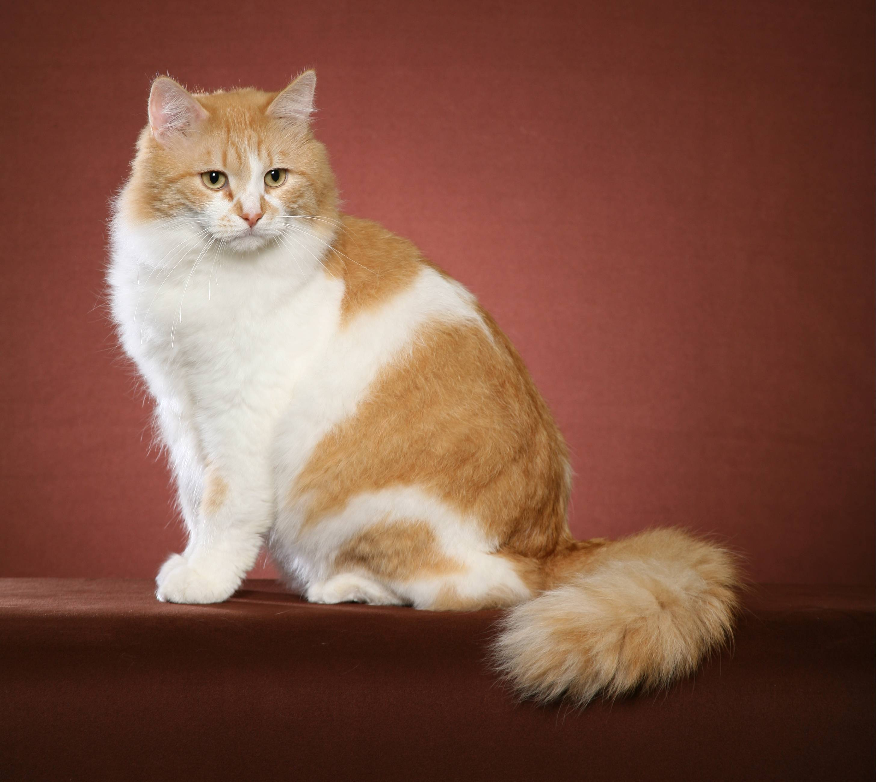 Sibirskiy Siberian Cats - TICA Siberian Standard in Pictures